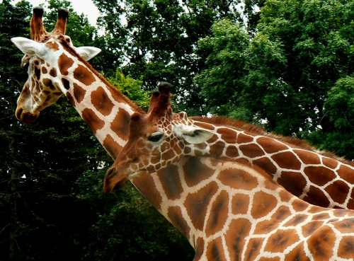 calin de girafe.jpg
